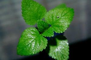 Хлорофилл помогает очистить мочевой пузырь