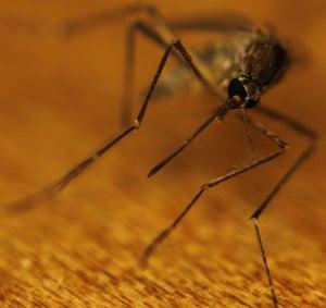 комар2
