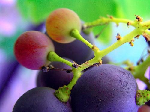 Натуральные анальгетики: виноград