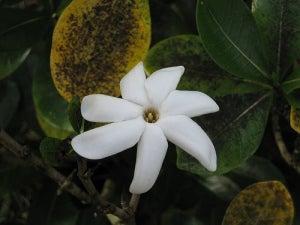 цветы-тиаре
