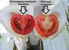 pomidory_GMO