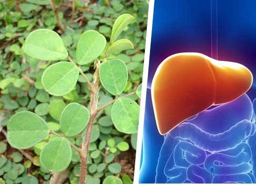 Десмодиум: удивительное растение для восстановления печени!