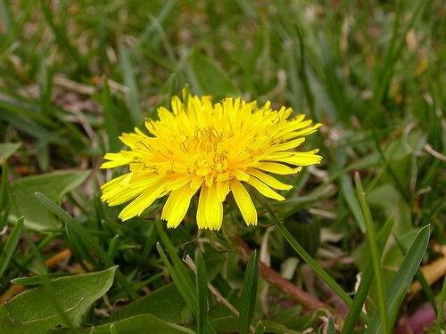 Растения для похудения: одуванчик