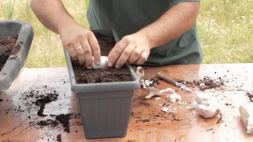 Как вырастить чеснок дома?