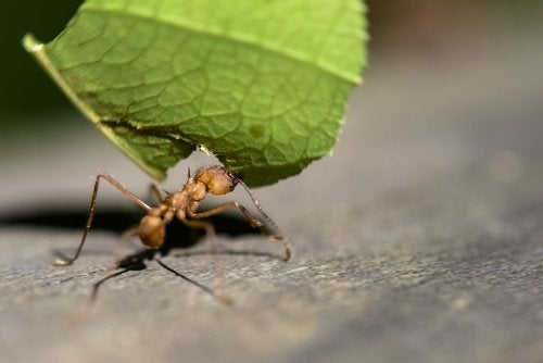 Кофе отпугивает муравьев