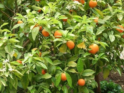 Настой листьев апельсина уменьшает стресс