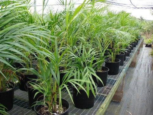 Комнатные растения и Chrysalidocarpus lutescens