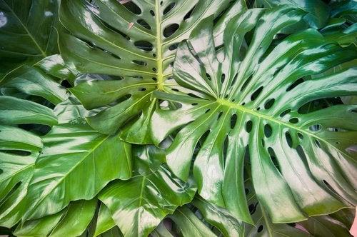 Филодендрон и комнатные растения