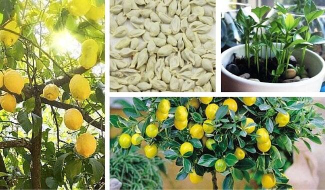 Как вырастить лимонное дерево в своем саду из обычной семечки?