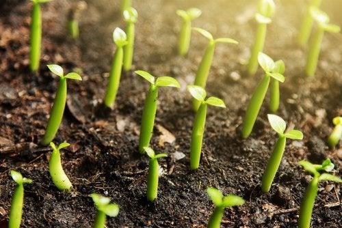 Вырастить корицу не прилагая больших усилий