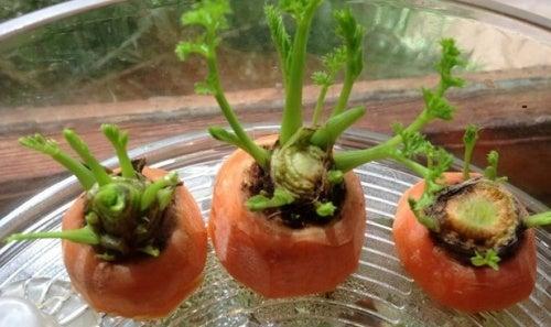 Как вырастить морковь дома? Хотите попробовать?