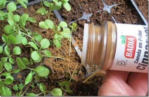Вы знаете, зачем нужна корица вашим растениям?