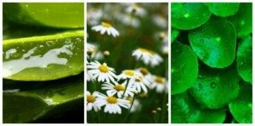 Действительно ли эти растения помогают быстрее заживлять раны?