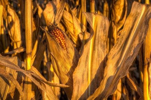 Кукуруза и микроволновка