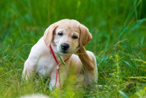 4 домашних средства, чтобы избавиться от блох у животных!