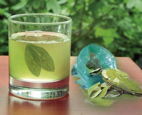 Настой листьев авокадо и здоровые почки