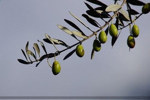 Как вырастить дома оливу
