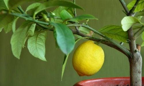 4 фруктовых дерева, которые можно вырастить дома