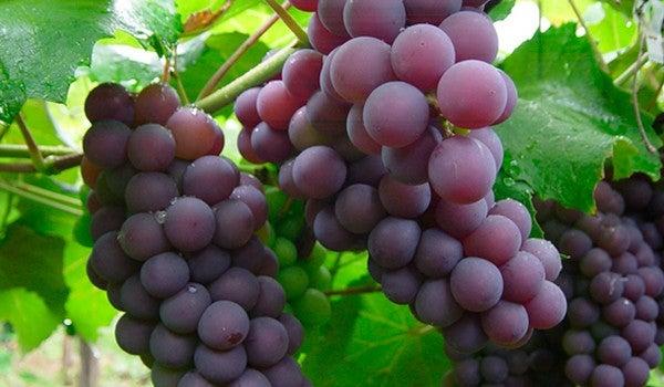 Виноград для борьбы с запорами