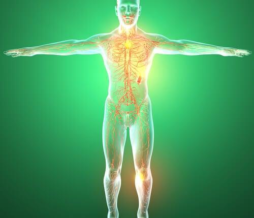 Органы и лимфатическая система
