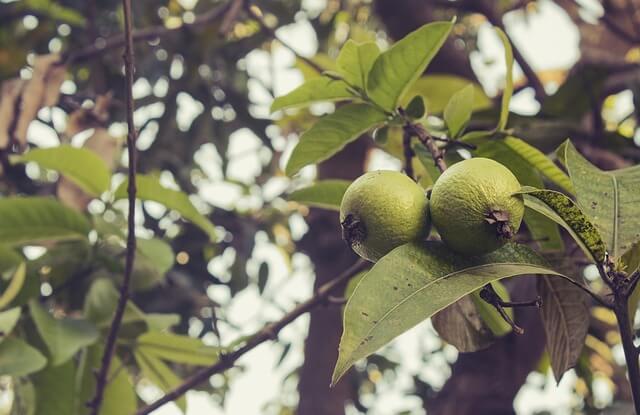 Средство из листьев гуайявы и неприятный вагинальный запах