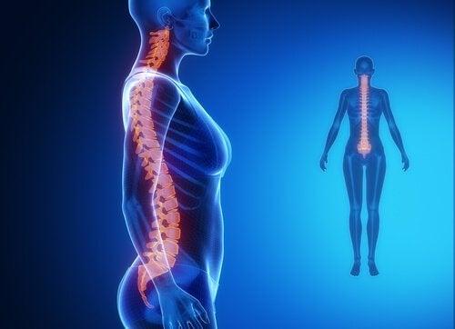 Позвоночник и мускулатура