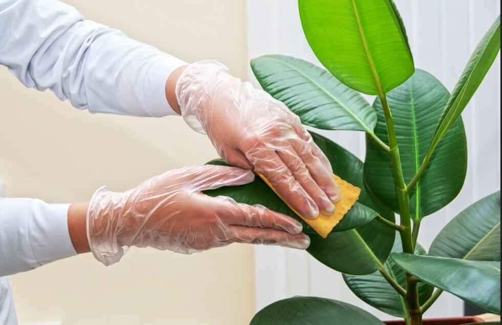 Как правильно очищать листья комнатных растений от пыли?