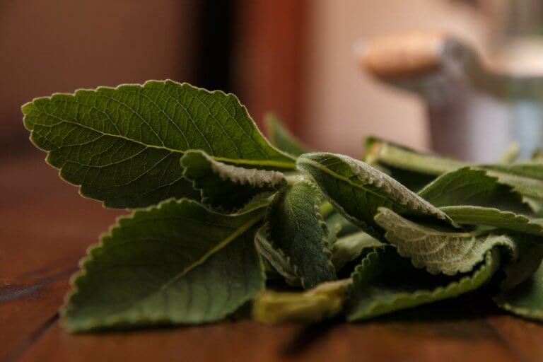 Болдо, или пеумус: позаботьтесь о здоровье своей печени!