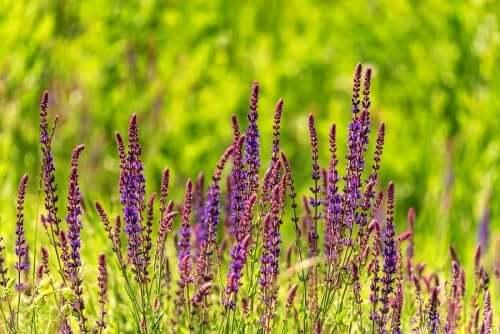 Шалфей и опасные растения