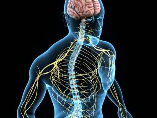 Спинномозговые нервы у человека