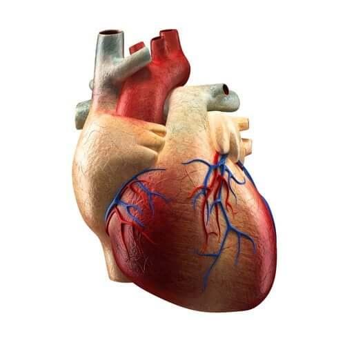 Части сердца и их функции