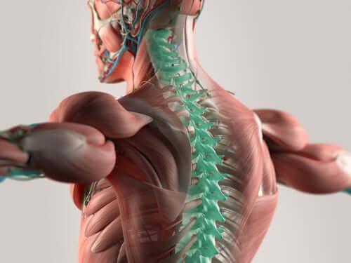 Позвоночник и спинномозговые нервы