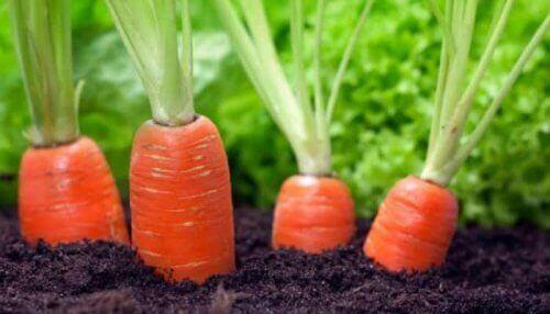 Есть морковь с грядки