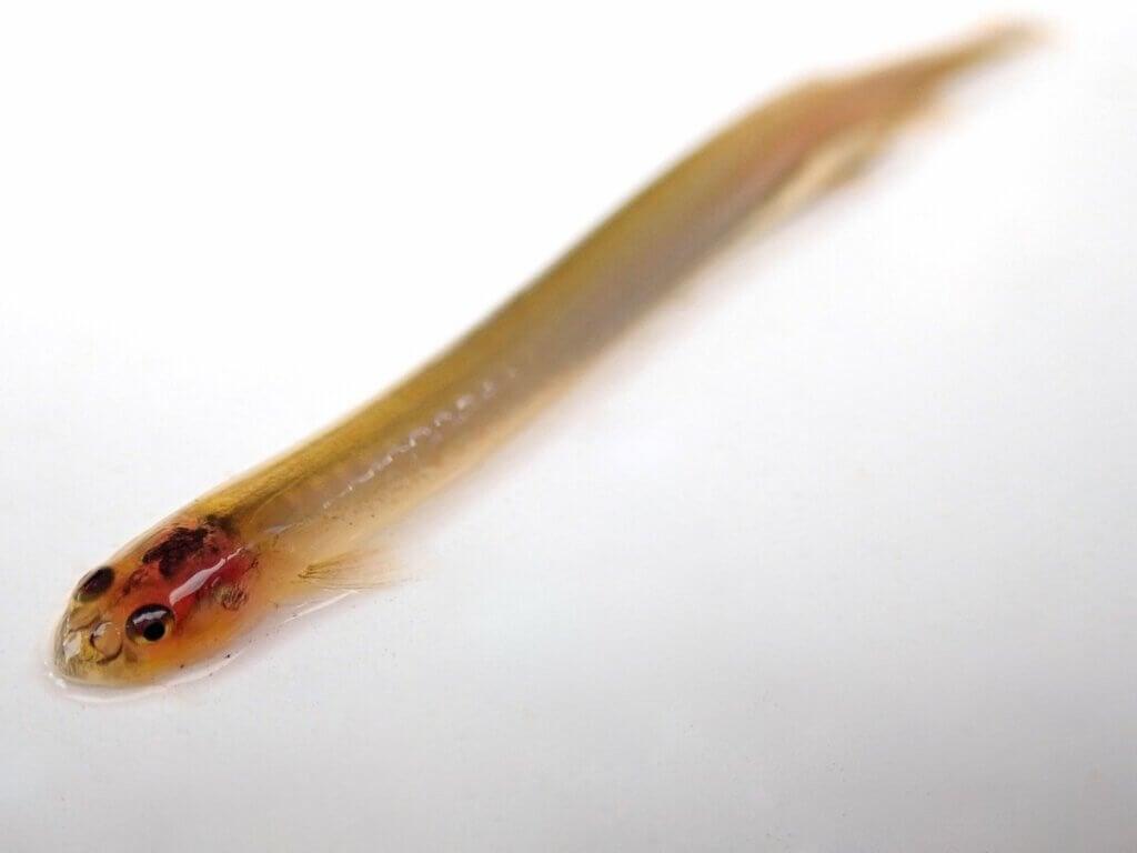 Рыба кандиру: может ли она попасть в уретру?