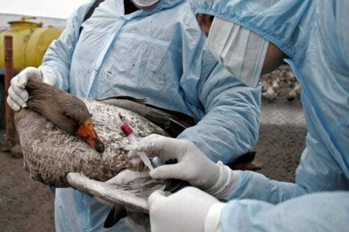 Птичий грипп: симптомы, диагностика и лечение